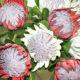 protea stems